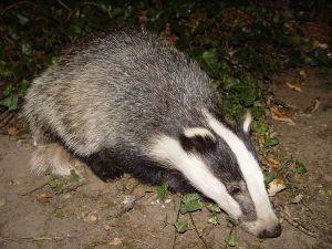 Är det inte ett av de finaste vilda djur som finns? Foto: Wikipedia