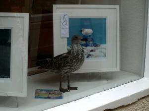 Gallery gull